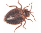 Bed Bugs Pest Control London